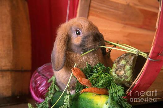 Alan and Sandy Carey - Holland Lop Rabbit Eating Vegetables