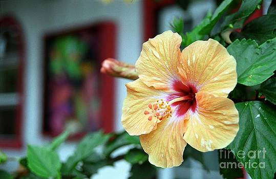 Holualoa Hibiscus by James B Toy
