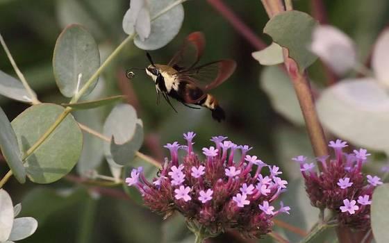 Rosanne Jordan - Homeward Bound Hummingbird Moth