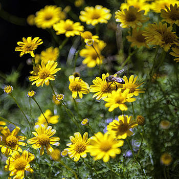 Lynn Palmer - Honey Bee Amidst Yellow Blooms