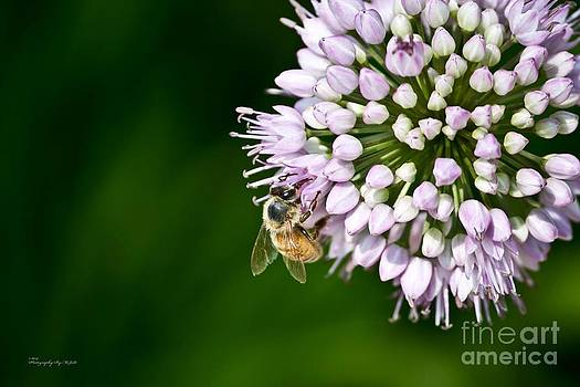 Honey Bee and Lavender Flower by Ms Judi