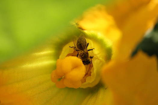 Honey Bee by Charlotte Craig