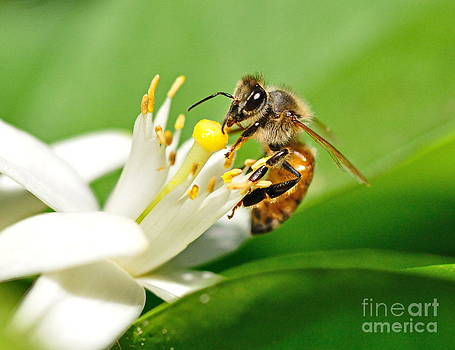 Wayne Nielsen - Honey Bee Embraces Orange Blossom