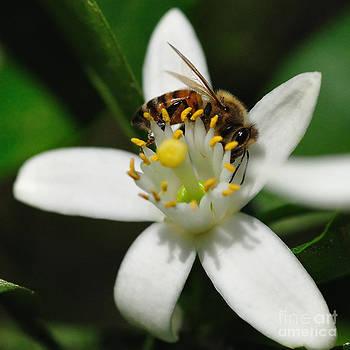 Wayne Nielsen - Honey Bee Encircling Orange Blossom - Bees