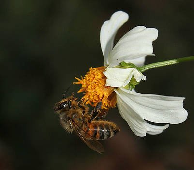 Erin Tucker - Honey Bee