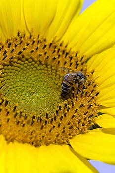 Honey Bee with Sunflower by Dana Moyer