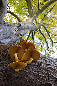 Honey Fungus on a Beech Tree by Chris  Clark