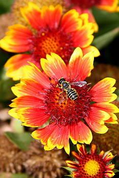 Honeybee on Coreopsis by Paula Tohline Calhoun