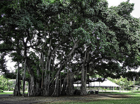 Daniel Hagerman - HONOLULU BANYAN TREE