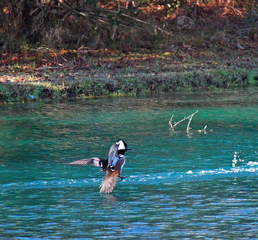 Charleston sc Hooded Merganser by Ella Char