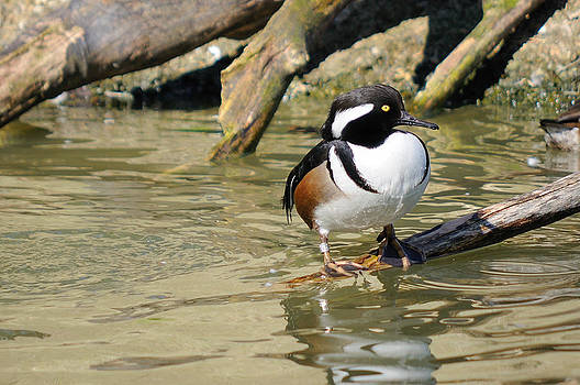Hooded Merganser Drake Resting by James Lewis
