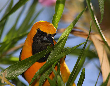 Hooded Oriole by Old Pueblo Photography