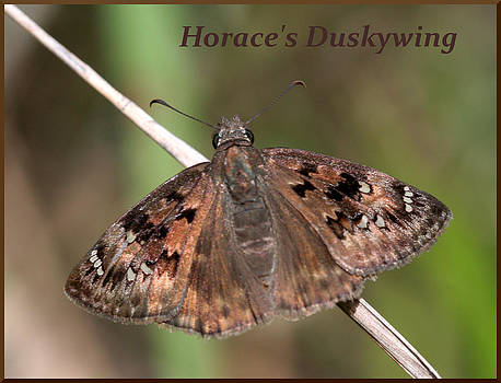 Horace's Duskywing  by April Wietrecki Green