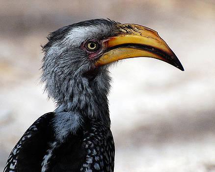 Hornbill by Frank Gaffney