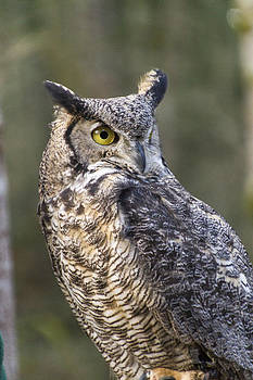 Horned Owl by Daryl Hanauer