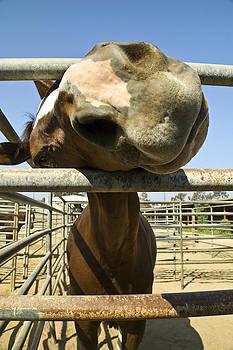 Pam  Elliott - Horse Nose