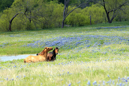 Horses and Bluebonnets by Lorri Crossno