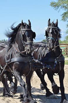 Kae Cheatham - Horses at Driving Clinc
