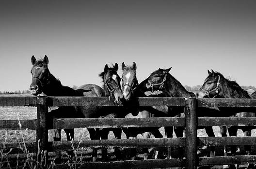 Horses in Black and White by Tony DellOrfano