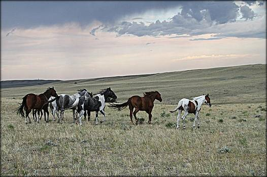 Horses Running Free by Big Horn  Photography