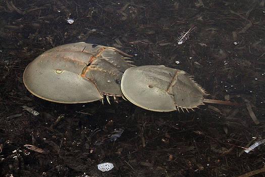 Doris Potter - Horseshoe Crabs