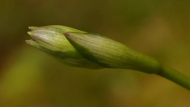 Dawn Hagar - Hosta Bud