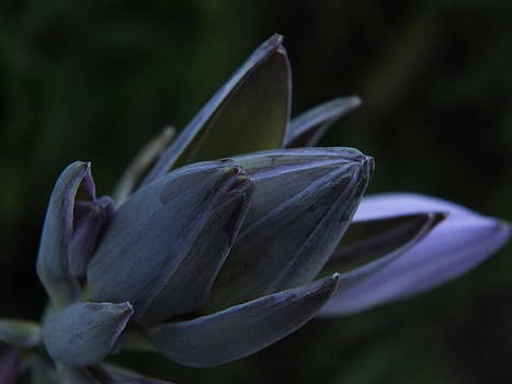 Hosta in Bloom by Gene Cyr