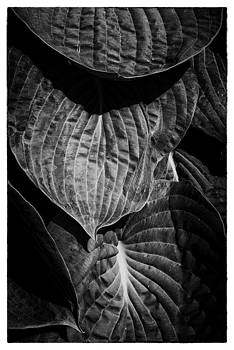 Hosta Leaves by David Durham