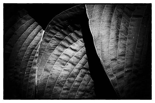 Hosta Leaves Two by David Durham