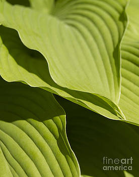Hosta by Tony Cordoza