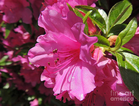 Hot Pink by Pamela Rivera