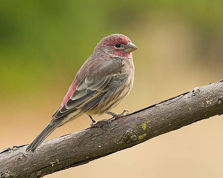 House Finch by Doug Herr