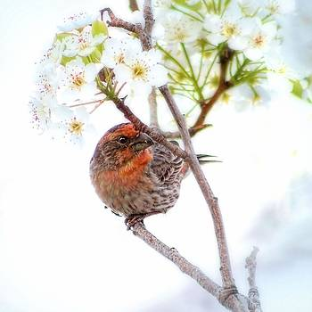House Finch In Cherry Blossoms by Tracie Kaska