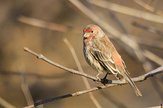 House Finch by Kimberly Kotzian