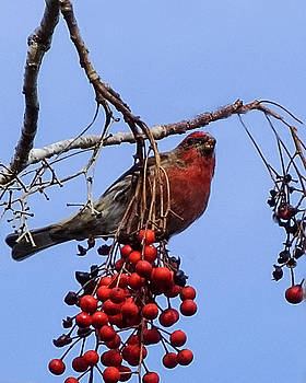 Terry Shoemaker - House Finch on Berries