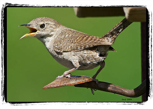 House Wren Chirping  by Stephen  Johnson