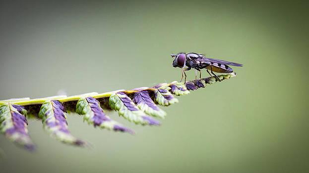 Hover Fly Macro by Dora Korzuchowska