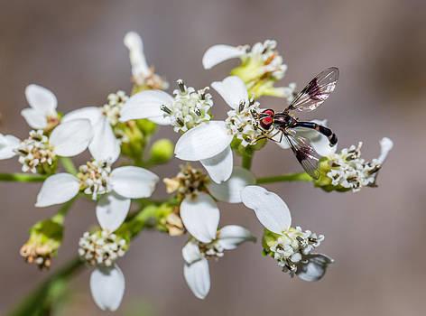 Hover Fly on Frostweed Flowers by Steven Schwartzman