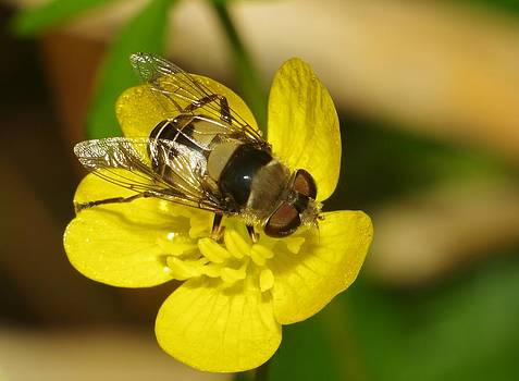 Billy  Griffis Jr - Hoverfly