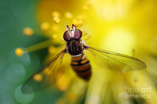 LHJB Photography - Hoverfly close-up