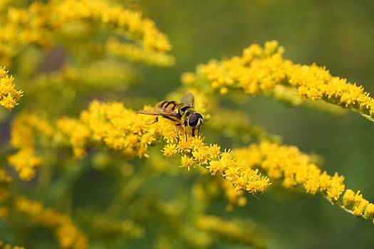 Mark Severn - hoverfly feeding