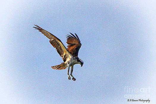 Barbara Bowen - Hovering Osprey