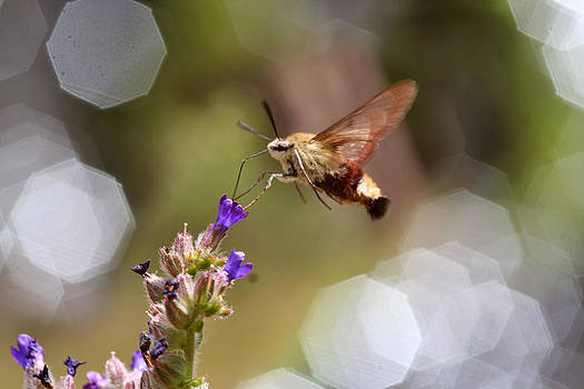 Dreamland Media - Hovering Pollination