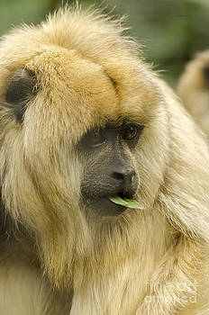 Darren Wilkes - Howler Monkey