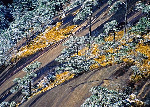 Dennis Cox - Huangshan winter pines