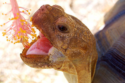 Rebecca Brittain - Huge Tortoise Munching Flower