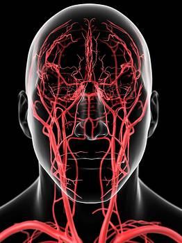 Human Head Arteries by Sciepro