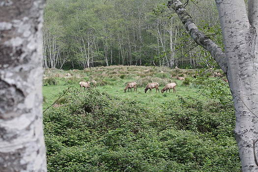 Humboldt Lagoon Elk by Mark Cheney
