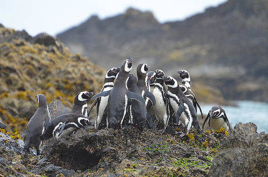 Humboldt Penguins by Eric Dewar