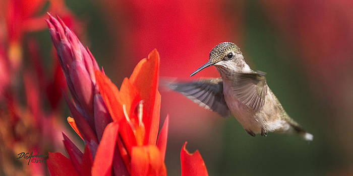 Hummer on canna by Don Anderson